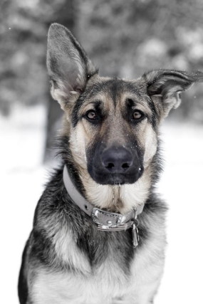 Blood-Hound-German-Sheperd-Hybrid