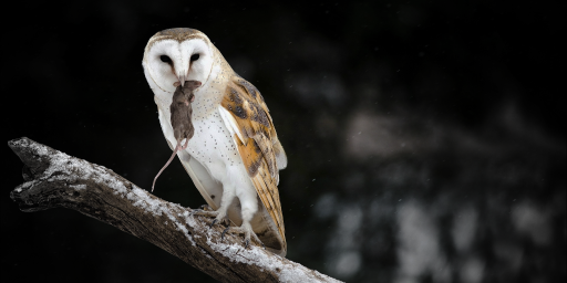 Endearable-Barn-Owl-Hunter