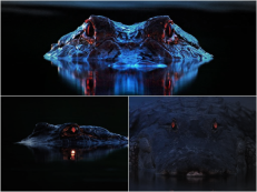 Red-Retinal-Reflection-Gator-1