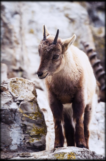 FEATURE-Alpine-Mountain-Ibex-Baby-I