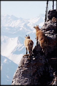 FEATURE-Alpine-Mountain-Ibex-Baby-II