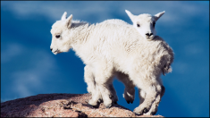 FEATURE-NA-Mountain-Baby-Goats
