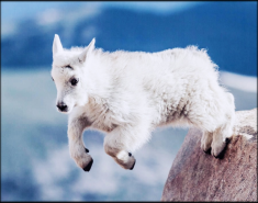 FEATURE-NA-Mountain-Goat-Baby-II