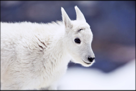 FEATURE-NA-Mountain-Goat-Baby-III