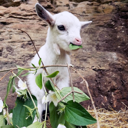 FEATURE-Nigerian-Dwarf-Goat-I