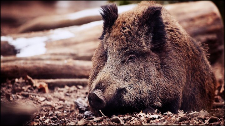 FEATURE-Wild-Eurasian-Boar